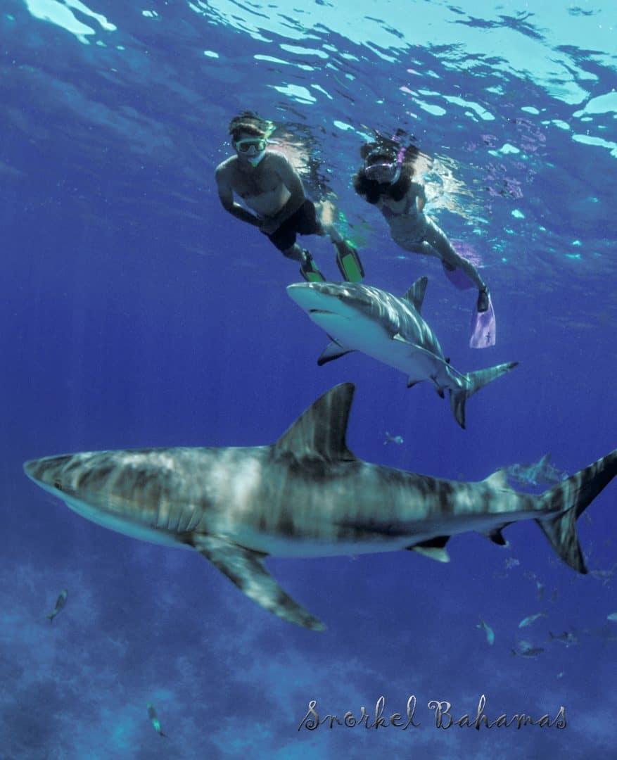 Nassau Snorkeling With Sharks Bahamas Cruise Excursions